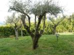 our olive trees!