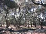 path under olives-tree