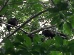 Local Howler Monkeys