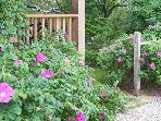 Entry way with wild roses that have the best smell you can imagine!