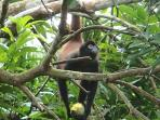 A spider monkey enjoys our mango tree right outside the upper house.