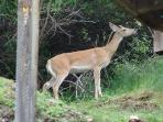 You'll often see the deer that come down to get crabapples.
