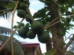 Fresh papaya (pawpaw) at the back door