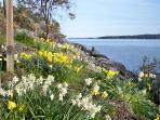 Daffodils at shore