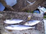We grilled yellow fin, bonita tuna and king mackerel. Barracuda, wahoo, mahi mahi and king fish.