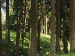 Cluster of large firs in the pasture