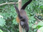 Casa Uvita Alarm Clock_Howler Monkey