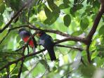 Slaty-tailed Trogons Male & Female