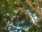 Macaw in Tree