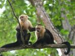 Santa Teresa White faced Monkeys