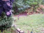 Wild turkeys in front side yard