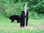 Bear cubs checking out our sign while mom keeps watch