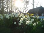 Come and pick the daffodils in spring