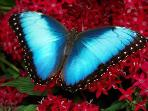 Morpho butterfly - Costa Rica's national symbol