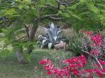 Bouganvilla and agave on villa grounds.