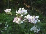 White and pink flowers along Pond Creek Trail near house