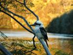 Kookaburra outside the dining room window