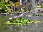 Black crowned night heron in lily pond