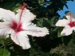 Hibiscus. We have beautiful flowers year round