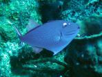 Sargasm Triggerfish