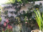 The scented wall in full bloom.