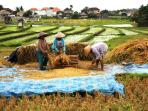just next the villa the ricefields, here the harvest