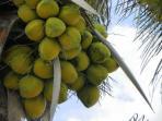 coconut harvest....