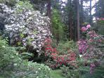 Springtime rhododendrons