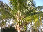 Richard's Pet Coconut Palm
