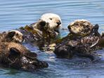 California Sea otters are a threatened species but are often plentiful on Morro Bay.