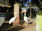 Pelicans taking a shower at the beach