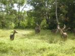 the java deers in our game reserve