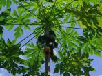 Papaya for the birds