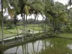Our country lane, on the famous Juwuk Manis rice paddie walk