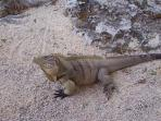 Iguana (They get rather large)