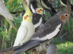 Gray and white Cockatiels