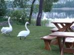 Swans in the Backyard