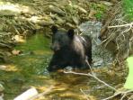 Bear cub in Cades Cove.
