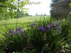 Vista's Japanese Iris against backdrop of sparkling corn to the horizon