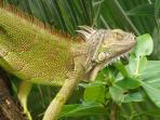 Beautiful Iguanas can be found all over our property