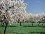 Almond trees in winter.