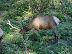 Local elk on property (view 1)