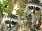 Other local wild life - Baby raccoon