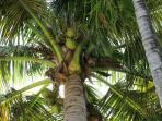 Your own coconut tree