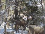 Deer enjoying the Juniper Tree...taken from kitchen window. Read more at...