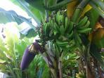 Lush Banana Plantation on site