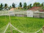 Pass beautiful rice fields & chat with locals whilst walking to the shopping of Seminyak/Oberoi