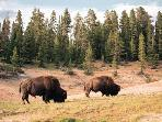 Bison in Yellwstone National Park