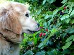 Even the dog loves the berries!