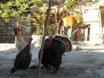 Turkeys strolling round the village in Sogucak
